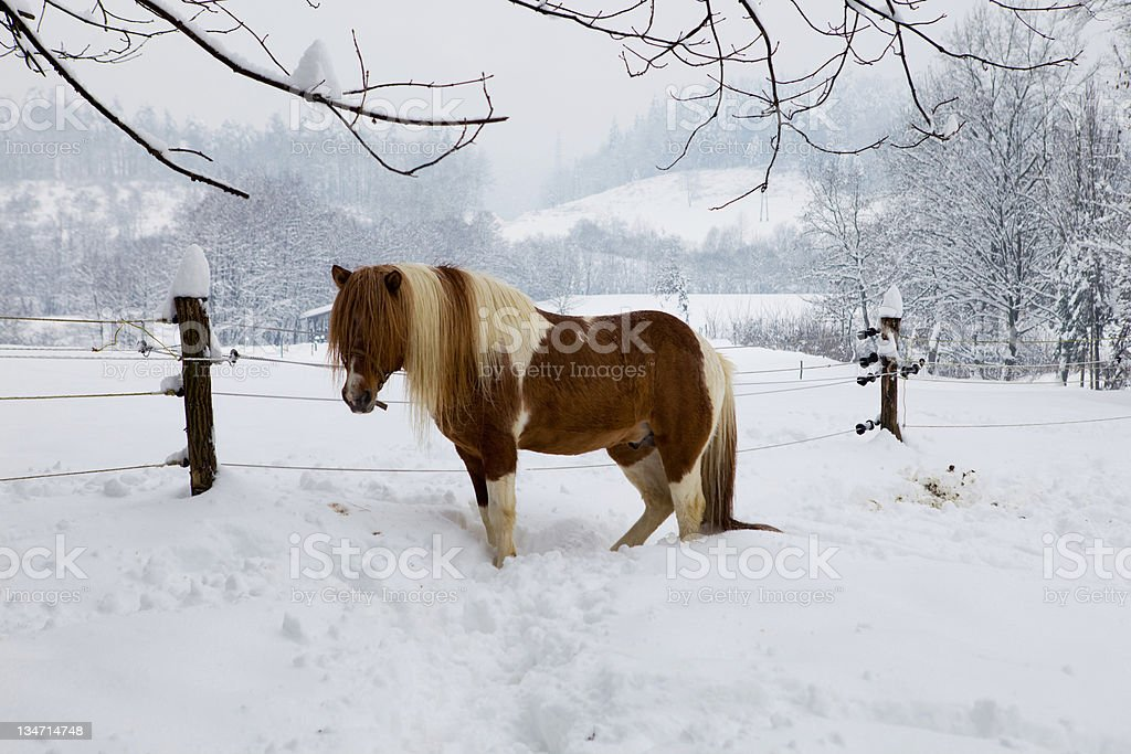 Beautiful icelandic horse in the snow royalty-free stock photo