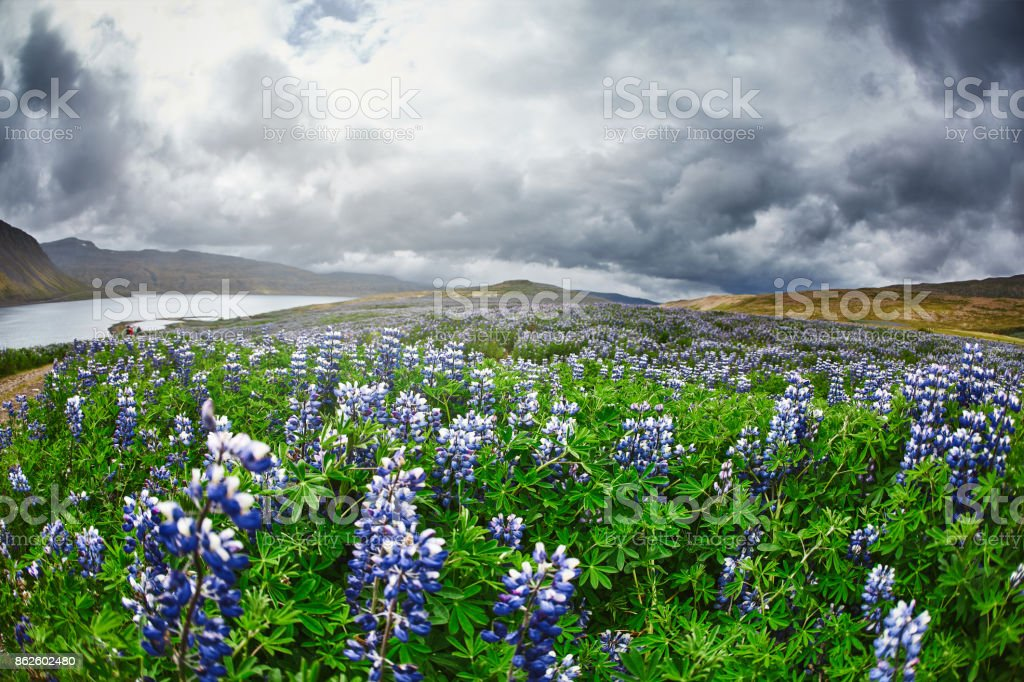 Beautiful Icelandic landscape with field in the foreground and the mountains and the fjords in the background stock photo