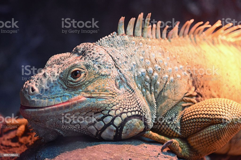 Beautiful iguana portrait - Royalty-free Animal Stock Photo
