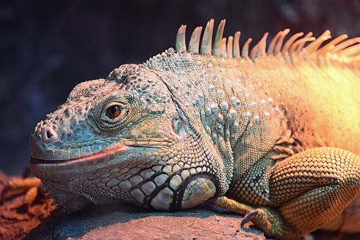 Beautiful Iguana Portrait Stock Photo - Download Image Now