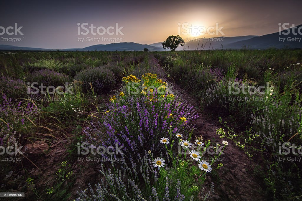 Beautiful image of lavender field and White camomiles. stock photo