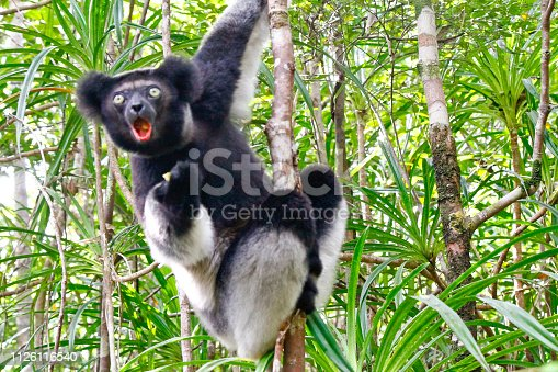 Beautiful image of the Indri lemur (Indri Indri) sitting on tree in Madagascar