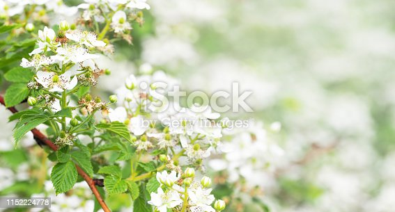 istock Beautiful in spring bloom garden. Raspberry bush with white flowers. Flowering rubus, panorama, copy space 1152224778
