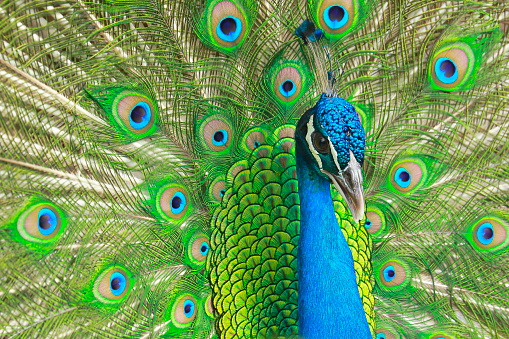 Wild beautiful asian indian Peacock with colorful Feathers showing fanned Out