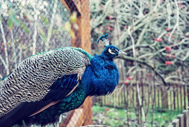 Schöne indische Pfauen posiert im Park, Blaufilter – Foto