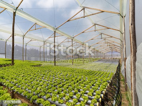 Beautiful indoor lettuce crop in a greenhouse - horticulture concepts