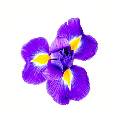 Beautiful iris flower isolated on white background.
