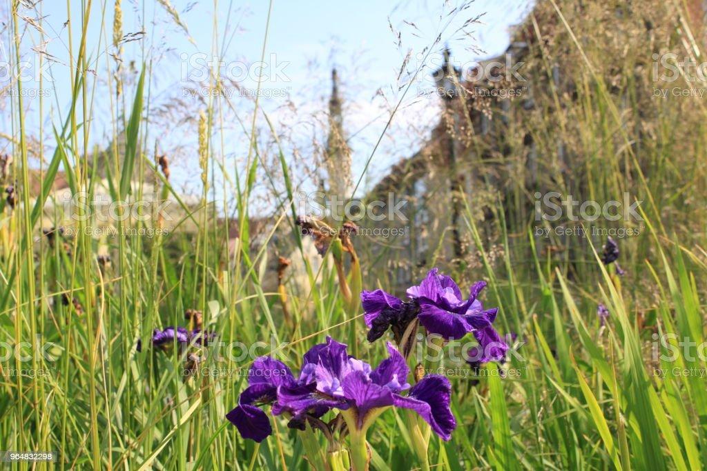 Beautiful Iris flowers in summer Tallinn old town city center. Estonia, northern Europe, Baltic states. royalty-free stock photo