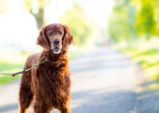A beautiful Irish Red Setter out for a walk looking into the camera A beautiful Irish Red Setter out for a walk looking into the camera irish setter stock pictures, royalty-free photos & images