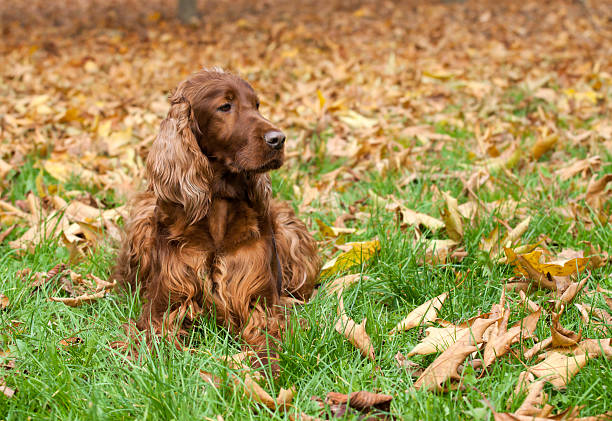 Beautiful Irish Setter Beautiful Irish Setter looking in the autumn leaves irish setter stock pictures, royalty-free photos & images