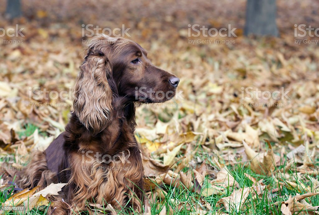 Beautiful Irish Setter stock photo