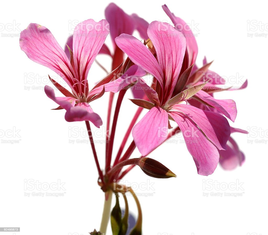 Beautiful isolated pink flower against a white background. royalty-free stock photo
