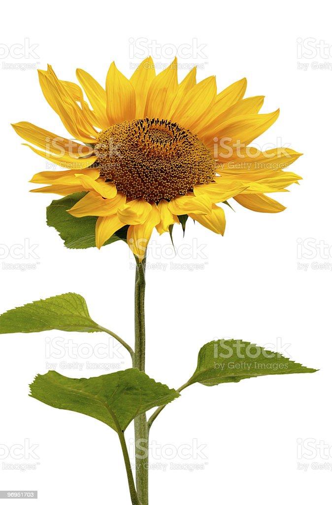 Beautiful Isolated Sunflower royalty-free stock photo