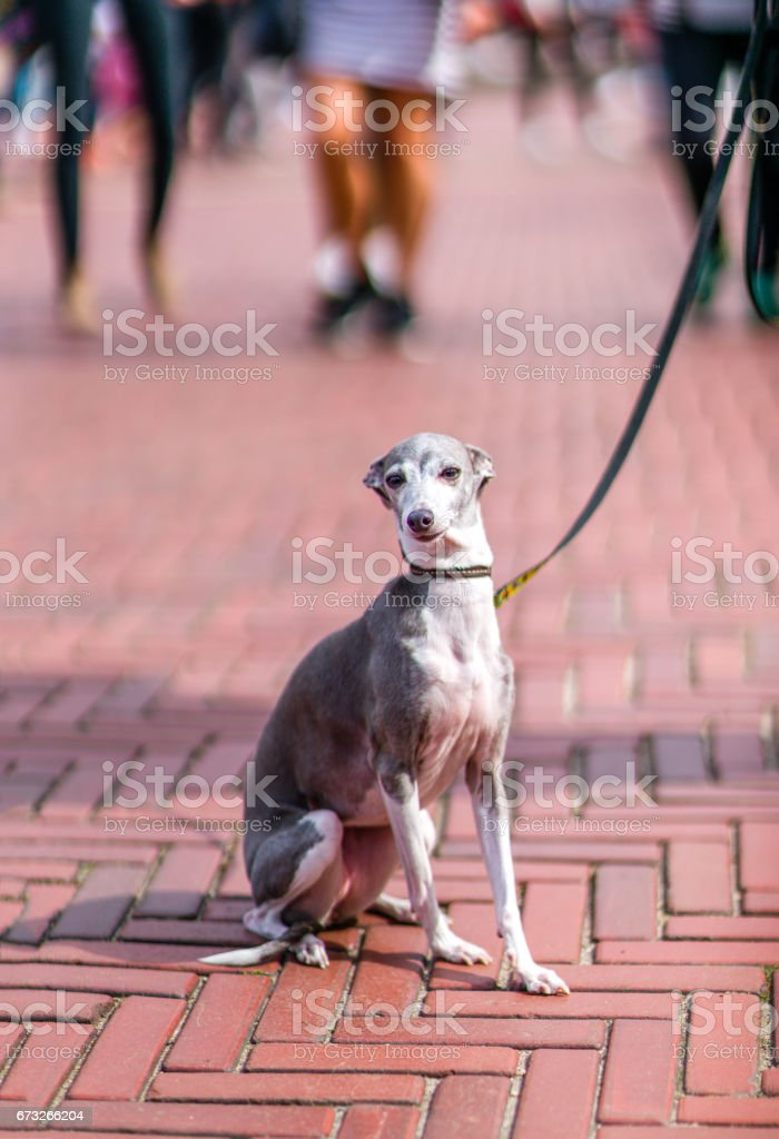 A beautiful Italian greyhound in Central Park. stock photo