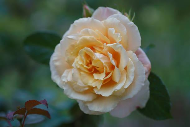 Beautiful ivory rose flower in the garden. Caramel rose flower stock photo
