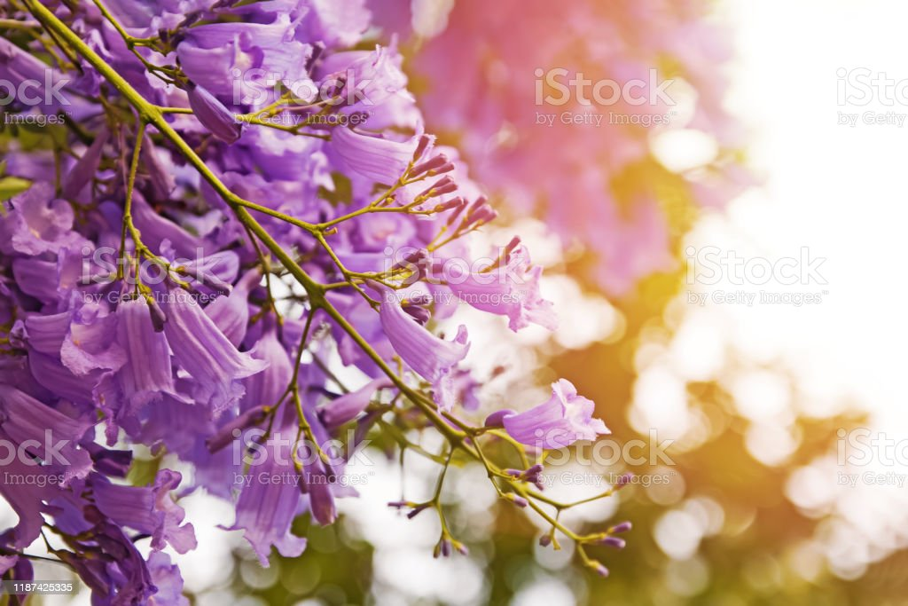 Beautiful Jacaranda Tree With Purple Flowers Stock Photo Download Image Now Istock