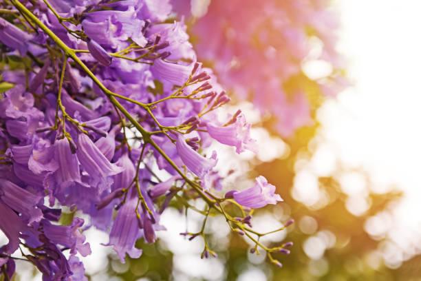 Beautiful jacaranda tree with purple flowers stock photo