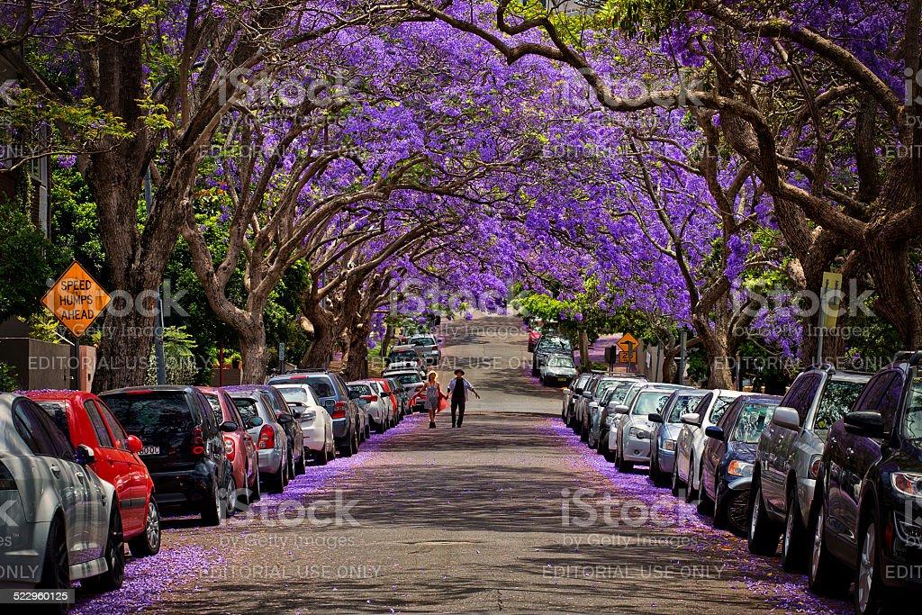 Beautiful Jacaranda trees in full bloom in Sydney stock photo