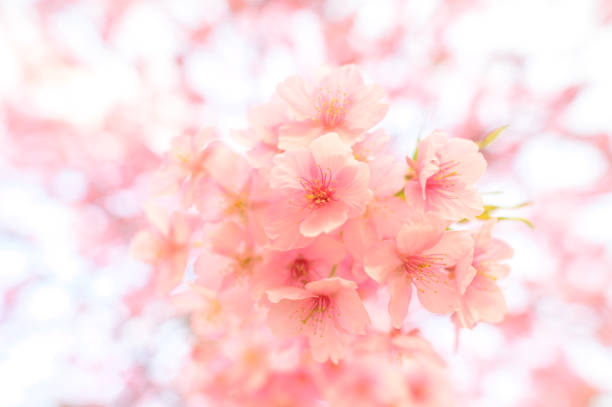Schöne Sakura Blume in Japan – Foto