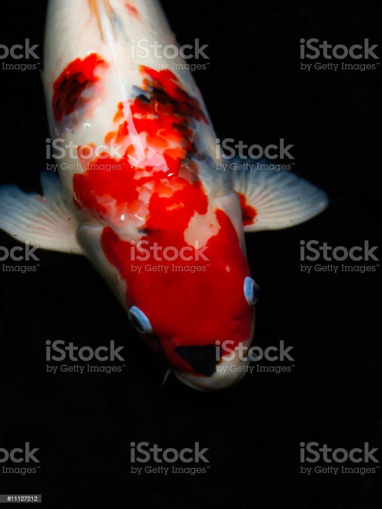 Beautiful Japanese Koi Fish Carp Fish Head And Body Parts Stock ...