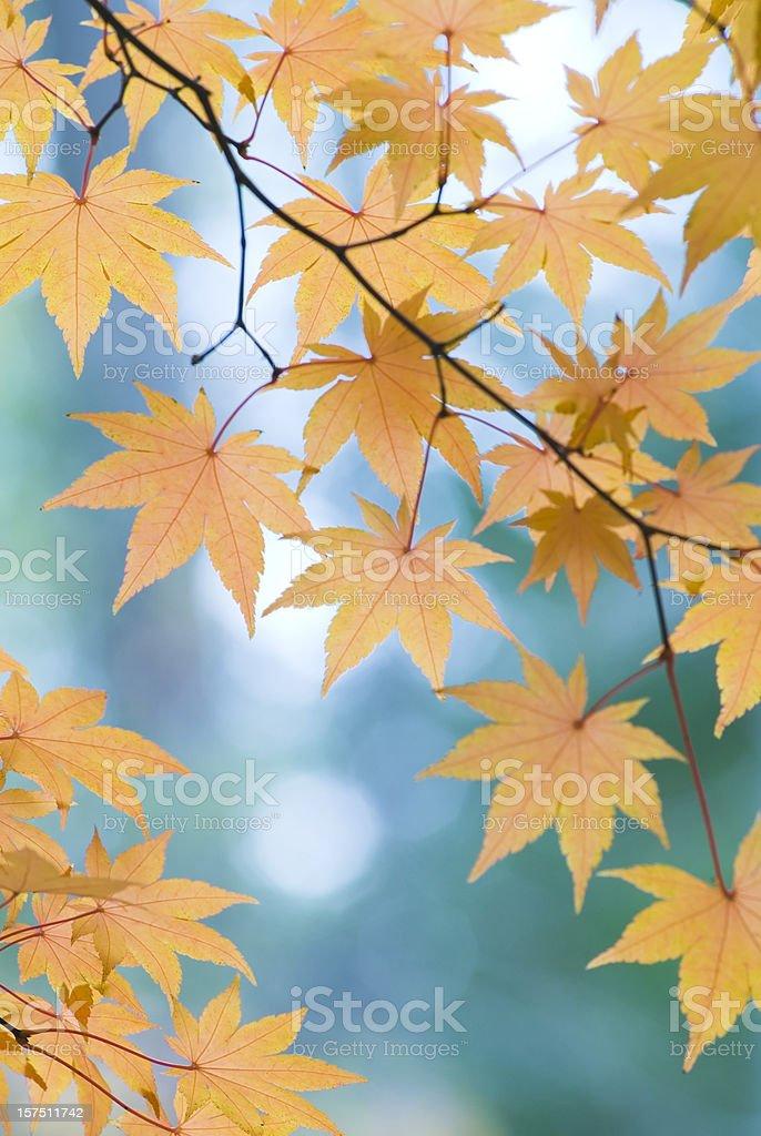 Beautiful Japanese Maple leaves - I royalty-free stock photo