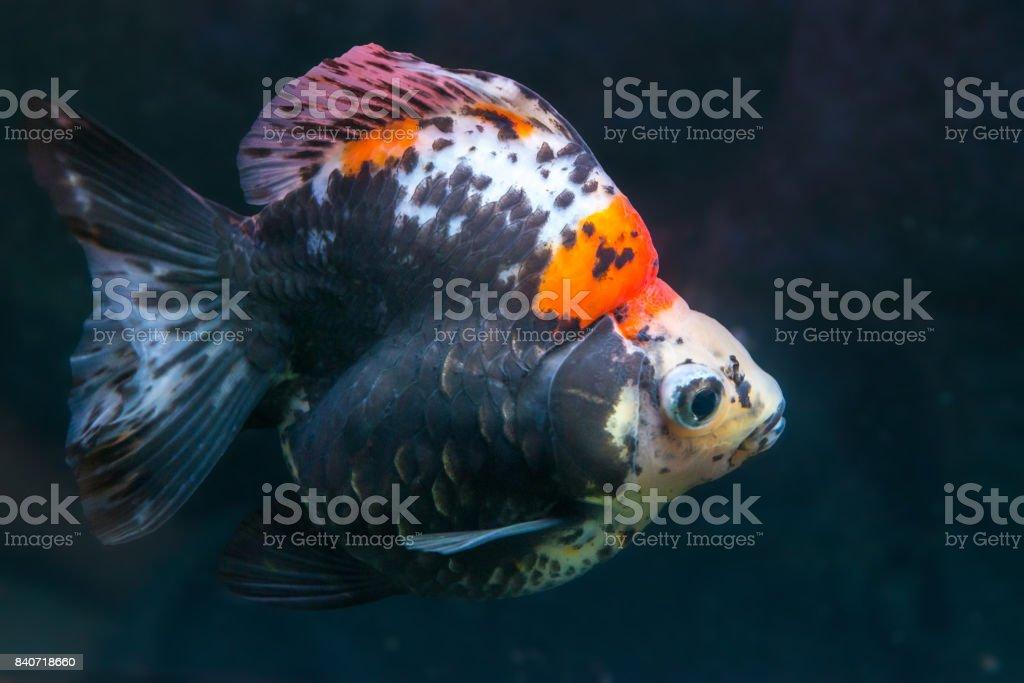 Beautiful Japanese Ryukin Goldfish Stock Photo Download