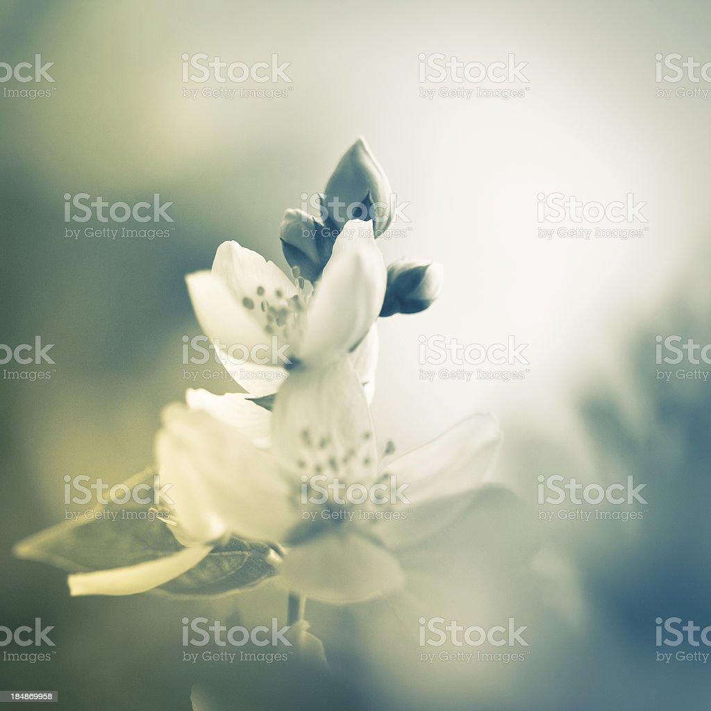 Beautiful Jasmine royalty-free stock photo