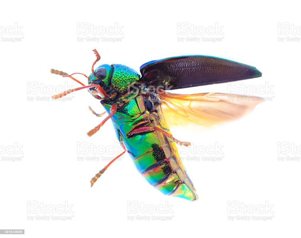 Beautiful Jewel Beetle or Metallic Wood-boring (Buprestid) Flyin stock photo