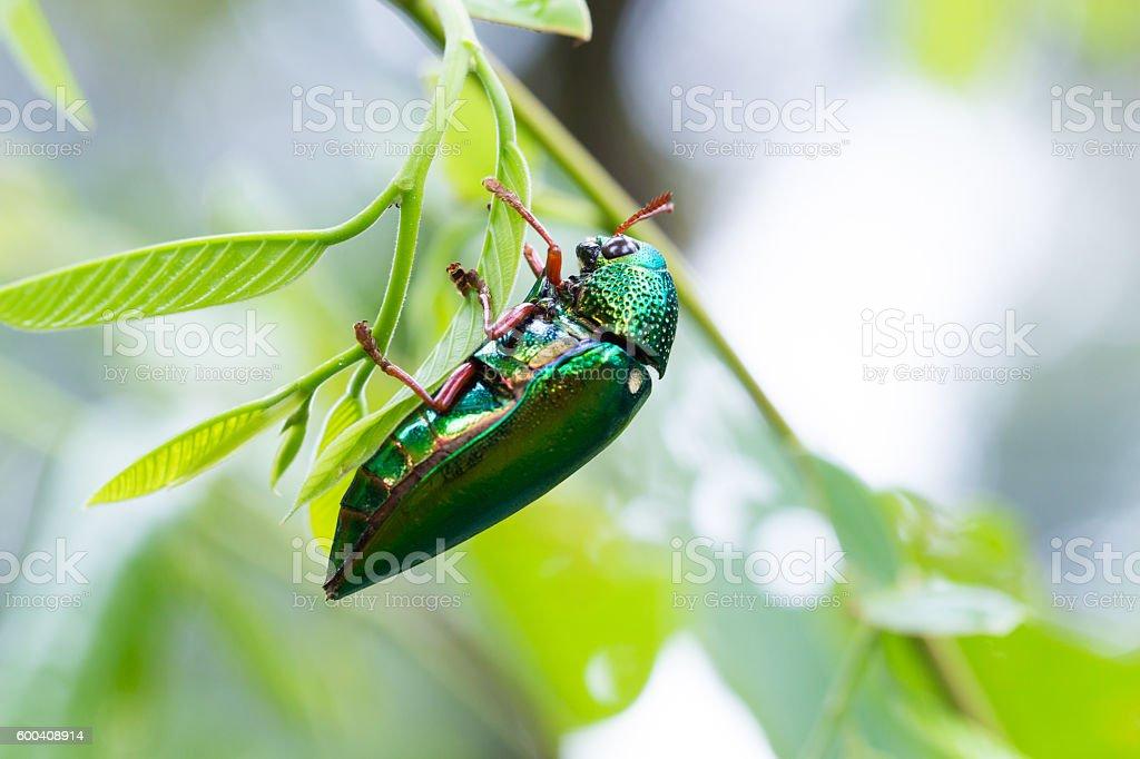 Beautiful Jewel Beetle or Metallic Wood-boring (Buprestid) on gr stock photo