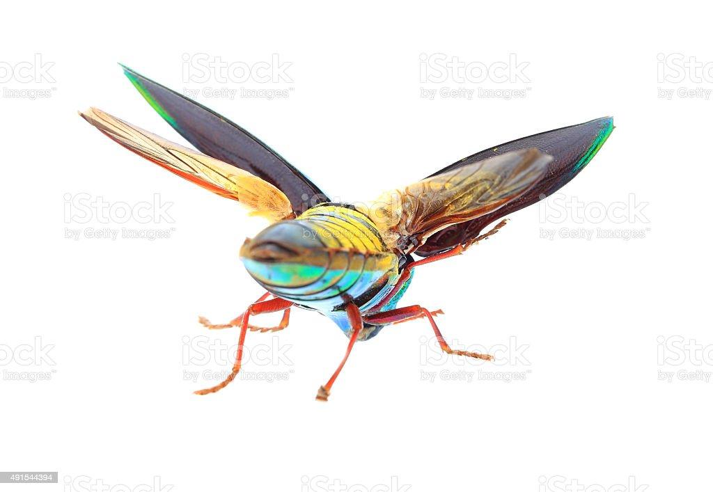Beautiful Jewel Beetle or Metallic Wood-boring (Buprestid) stock photo