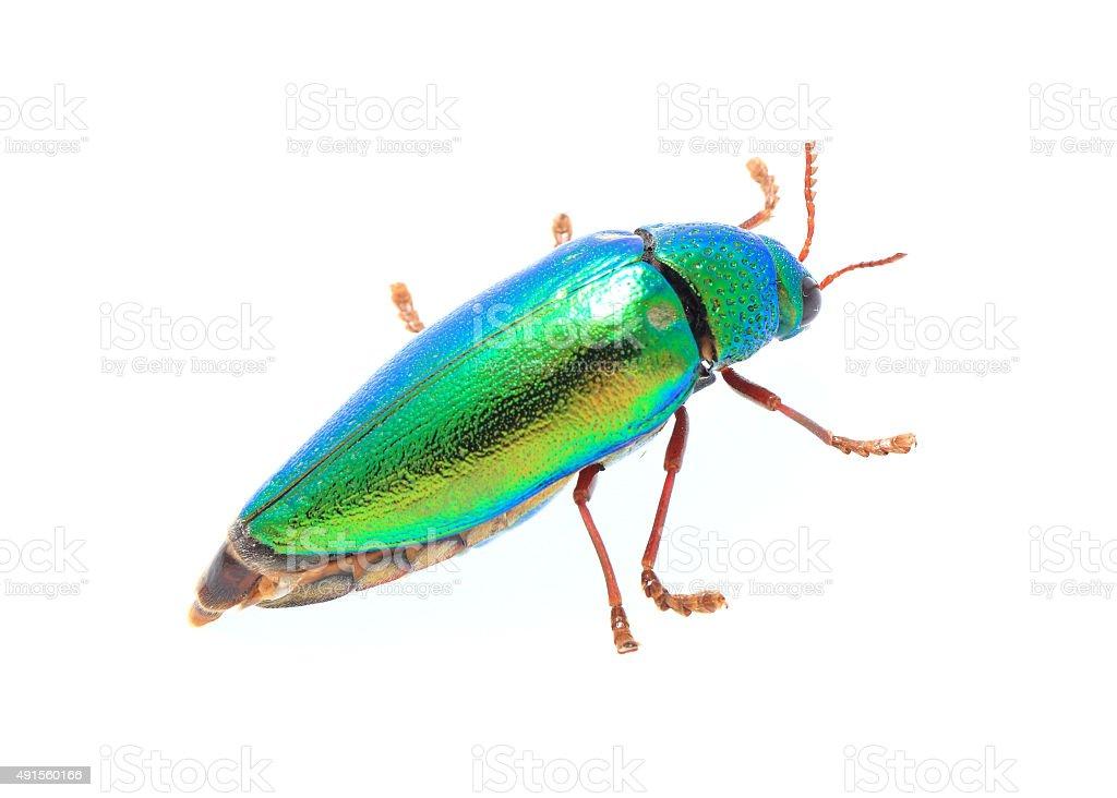 Beautiful Jewel Beetle or Metallic Wood-boring (Buprestid) top v stock photo