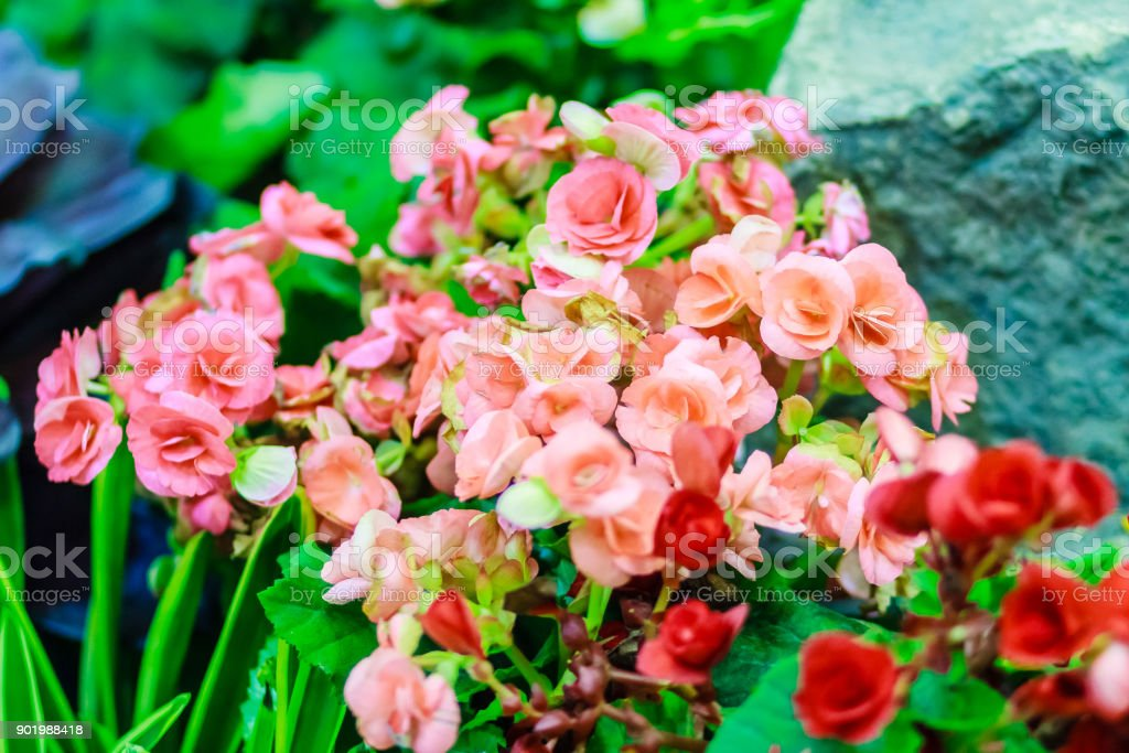 Beautiful Kalanchoe Calandiva flowers at night market. Shot in high ISO with grain stock photo