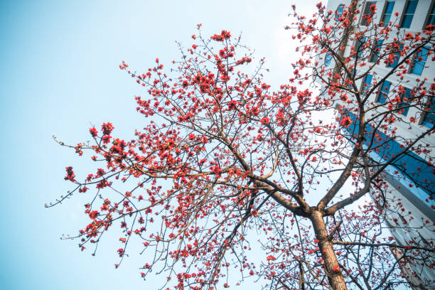 Beautiful kapok blossoming in city stock photo