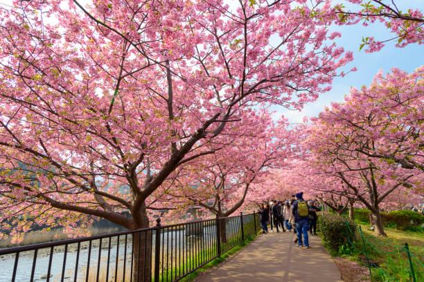 Schönes Kawazu Sakura Festival, Kirschblüte voller Blüte – Foto