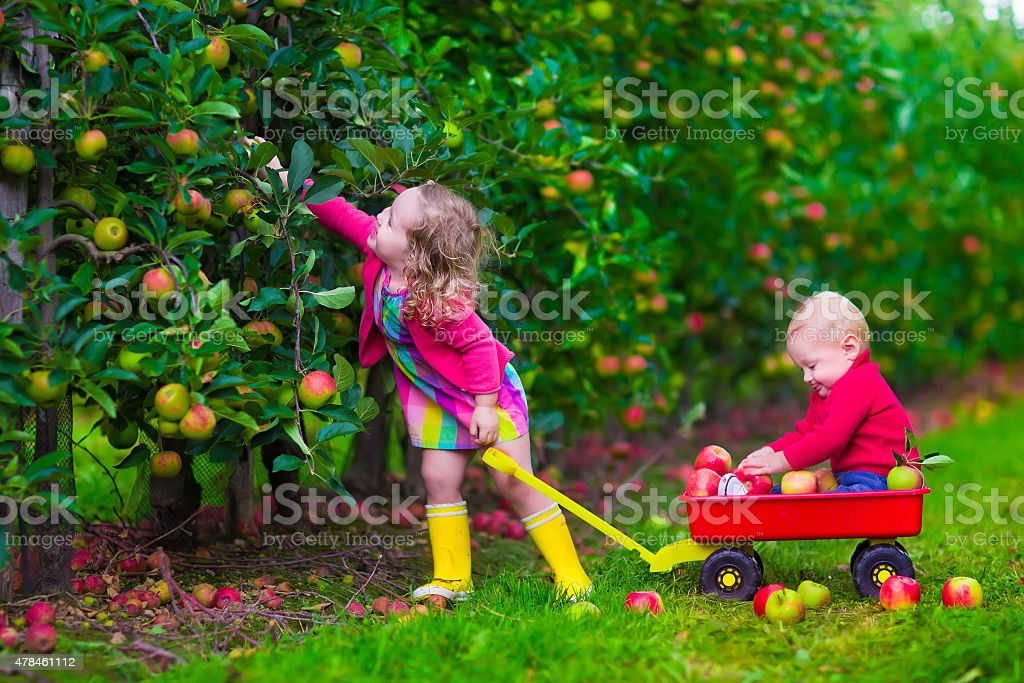 Beautiful kids picking apple on a farm stock photo