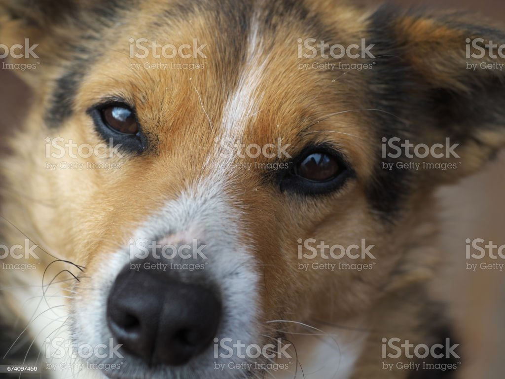 Beautiful kind brown mixed-breed dog eyes shining light, closeup royalty-free stock photo