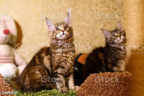 Beautiful kitten in a stripe maine coon picture id1043157274?b=1&k=6&m=1043157274&s=612x612&h=6n1kw34cy70yo4vdhpzjnexxq2esf64wv xitfrkos0=