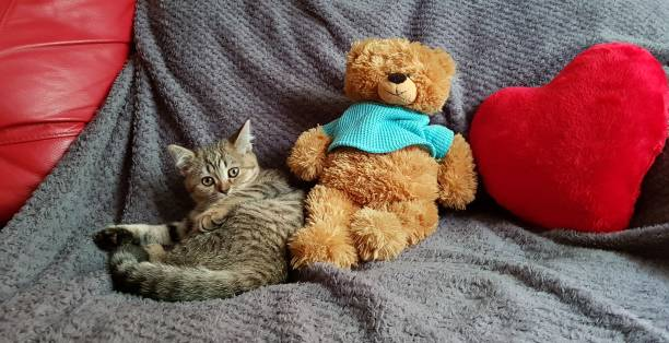 beautiful kitten with toys - batalina cats стоковые фото и изображения