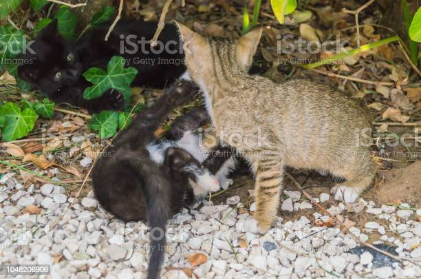 Beautiful kittens playing together and each with himself picture id1048206906?b=1&k=6&m=1048206906&s=612x612&h=bd6ga9qjk3y8zz16beqwnfhuzyzbun mzuowsk u3gw=