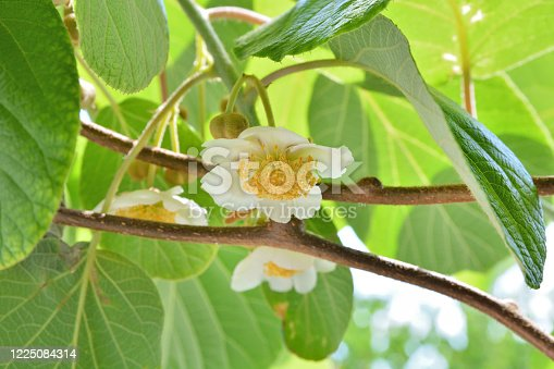 Kiwi blooming and beautiful white flower on branches of kiwi fruit vine and green new leaves on a spring day in the garden. Spring foliage and natural background concept. Close up, selective focus