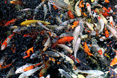 Beautiful koi fish in pond in the garden, Fishes under water, carp fish