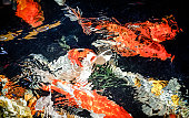 Abstract color filter / Beautiful koi fish swimming in the garden pond