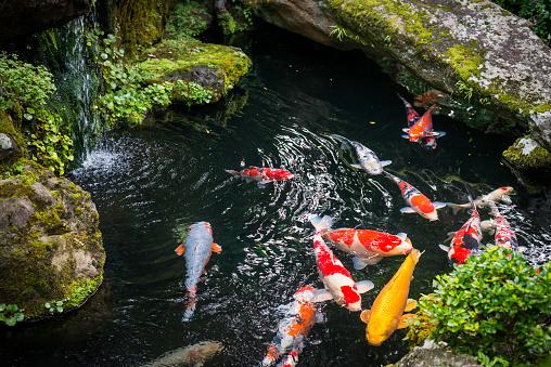 Beautiful Koi pond japan