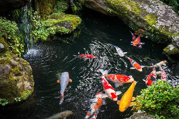 красивый пруд с золотыми рыбками япония - пруд стоковые фото и изображения