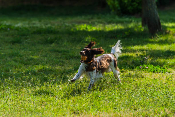 schöne kooikerhondje hund spielt im öffentlichen park - kooikerhondje welpen stock-fotos und bilder