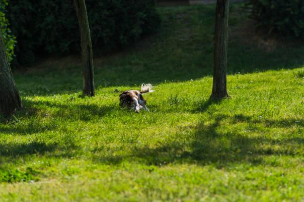 schöner kooikerhondje hund spielt im public park - kooikerhondje welpen stock-fotos und bilder