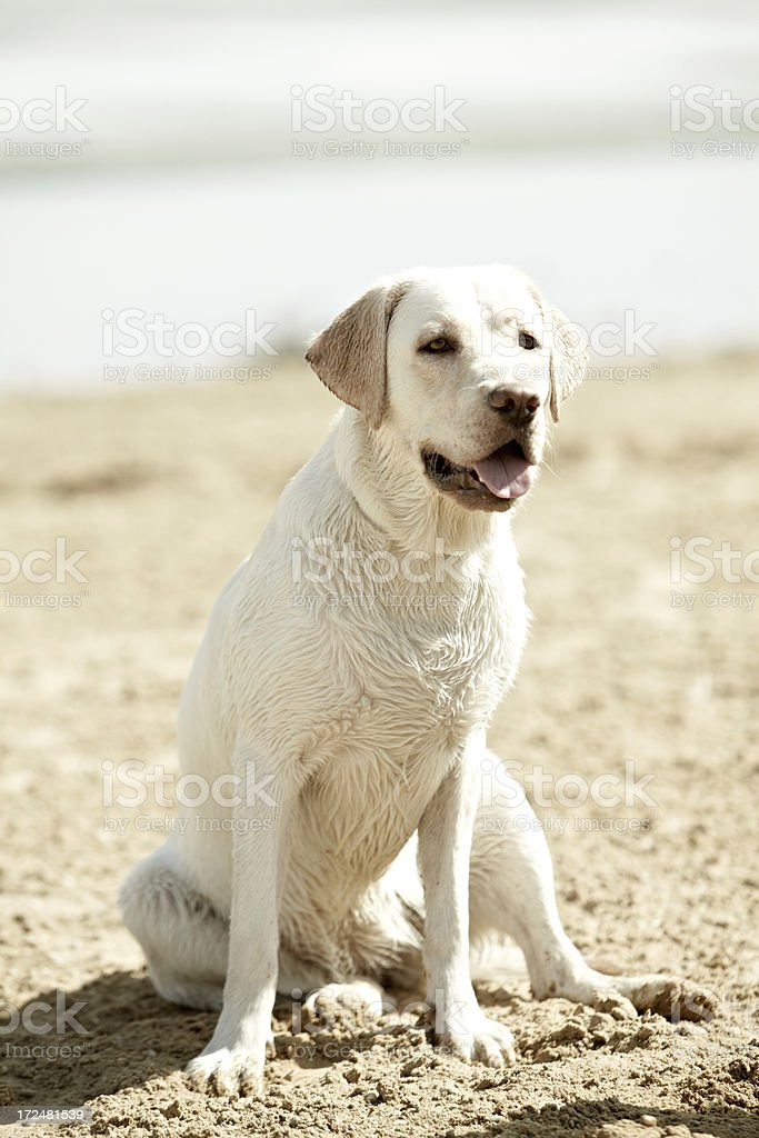 Beautiful Labrador royalty-free stock photo