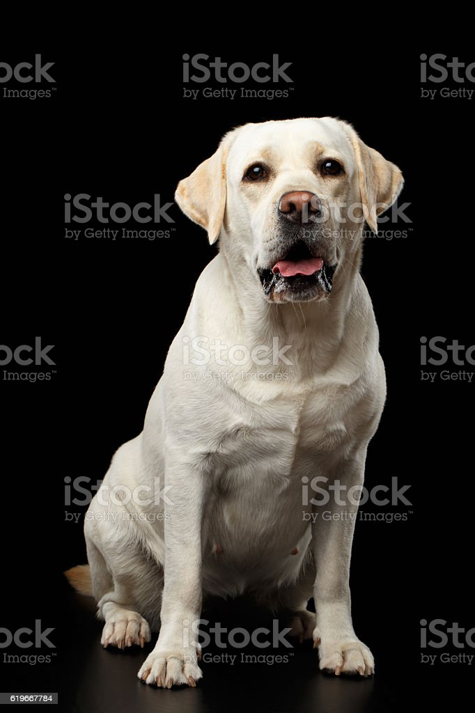 Beautiful Labrador retriever dog in front of isolated black background stock photo