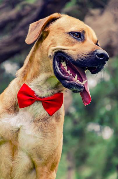 Labrador Beige - Photos et Images Libres de Droits - iStock