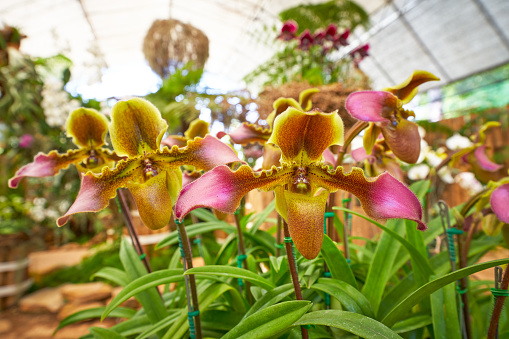 beautiful ladies slipper orchid flower farm in doi tung garden chiang rai thailand for travel in spring season